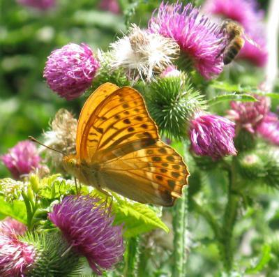 SchmetterlingOrange